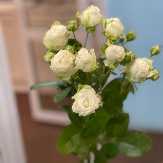 Роза пионовидная кустовая