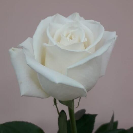 Роза Эквадор белая