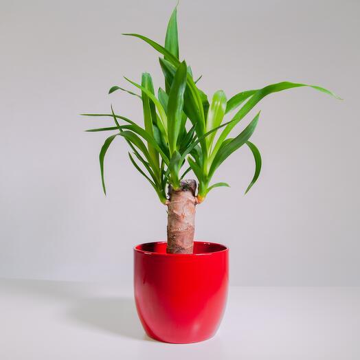 """Растение """"Юкка штамбовая"""" пересаженное в Красный горшок"""