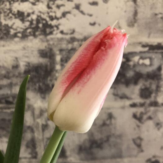 Тюльпан махровый