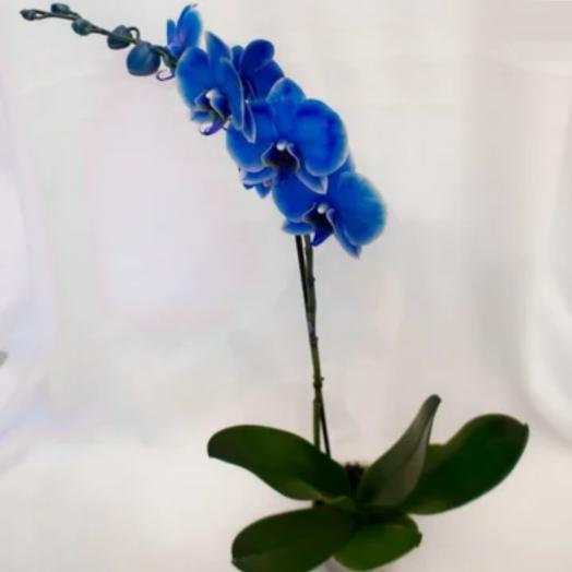 Орхидея фаленопсис Royal Blu синий: букеты цветов на заказ Flowwow