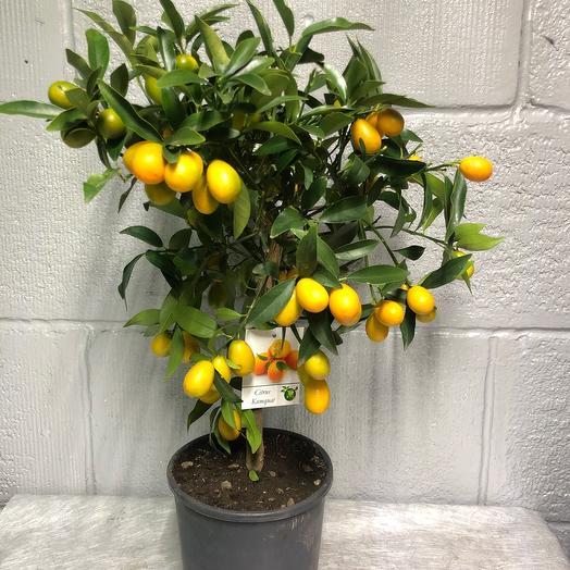 Комнатное растение Кумкуат
