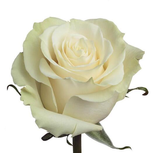 Роза Мондиаль Эквадор 60см