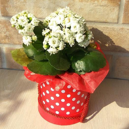 Каланхоэ в подарочной коробке: букеты цветов на заказ Flowwow