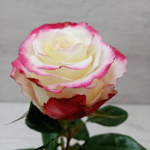 Роза Свитнес (Эквадор)