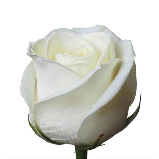 Роза сорта Аваланж 70см