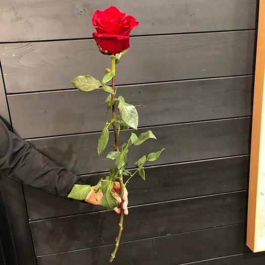 Роза premium бордовая 60 см (Эквадор)