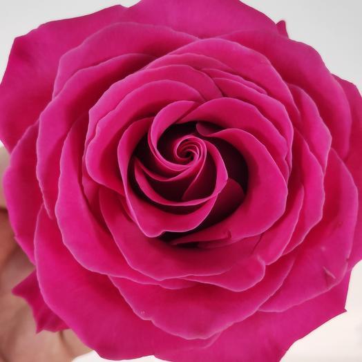 Роза Эквадор Pink Floyd(коробка конфет в подарок, условие в описании)