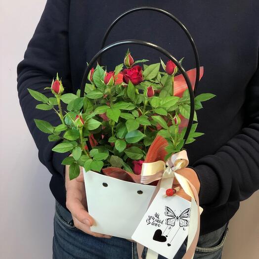 Комнатная  Роза в сумочке