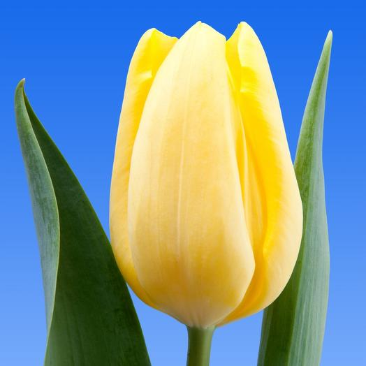 Тюльпан желтый Strong gold