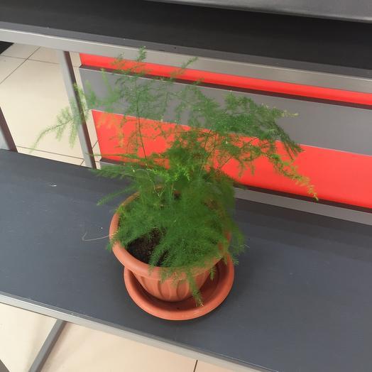 Комнатное растение аспарагус плюмосус