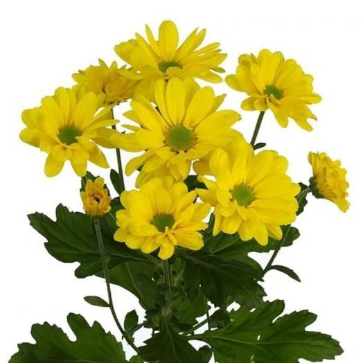Хризантема кустовая жёлтая 1ветка