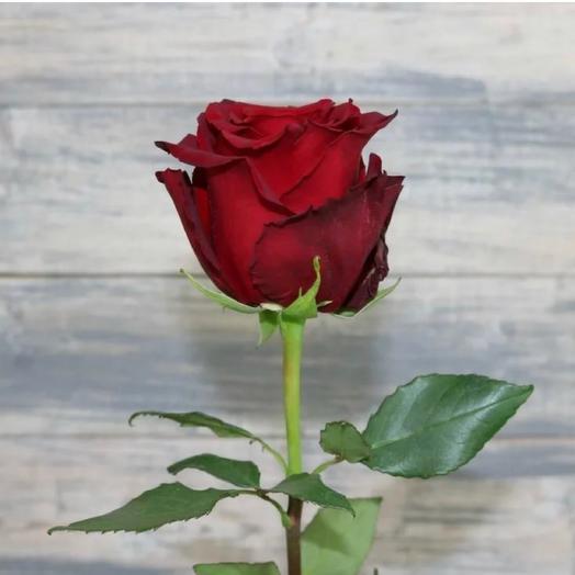 Роза Эксплорер Эквадор 70 см