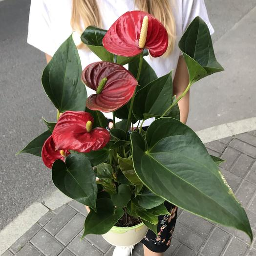 Антуриум в керамическом горшке: букеты цветов на заказ Flowwow