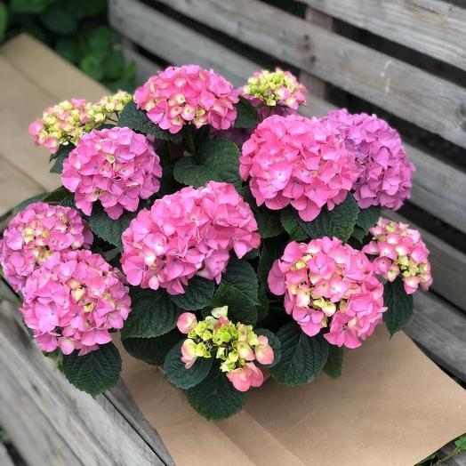 Гортензии в горшке: букеты цветов на заказ Flowwow
