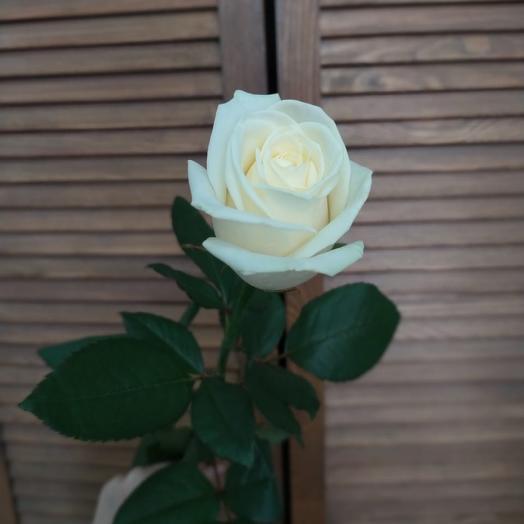 Rose Avalange 50cm