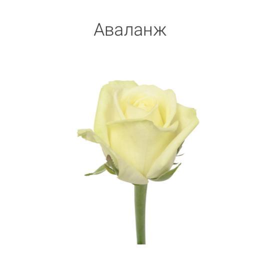 Роза «Аваланж» 60