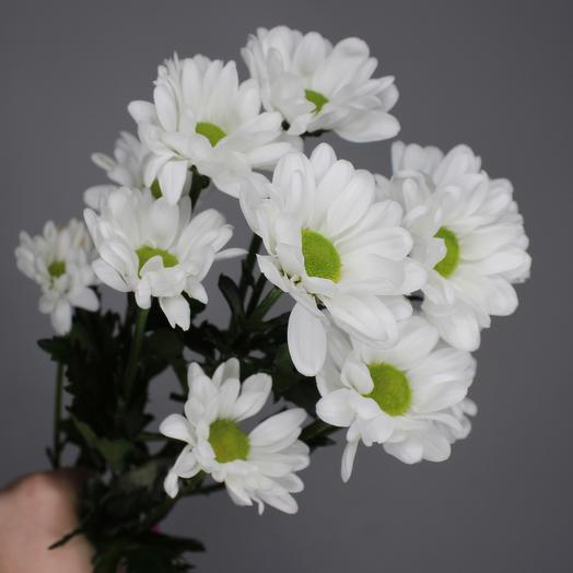Хризантема кустовая ромашковая (белая)