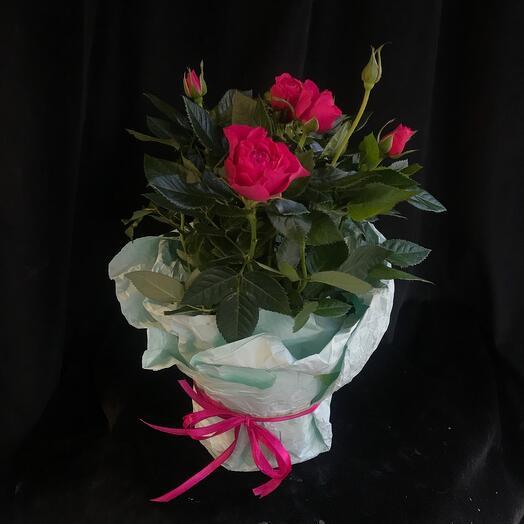 Розовые розы в горшке