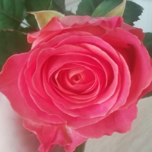 Роза Россия 70 см