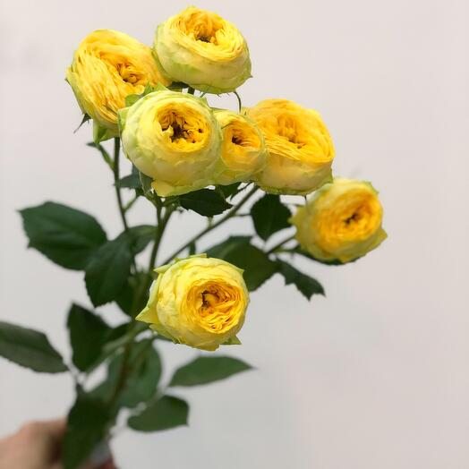 Кустовая Роза Голден Трендсеттер