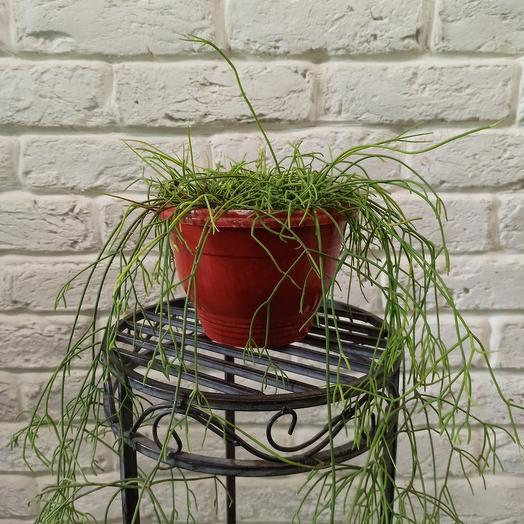 """Горшечное растение """"Рипсалис волосовидный"""""""
