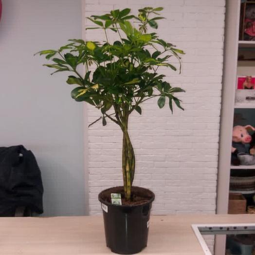 Комнатное растение Шефлера коса
