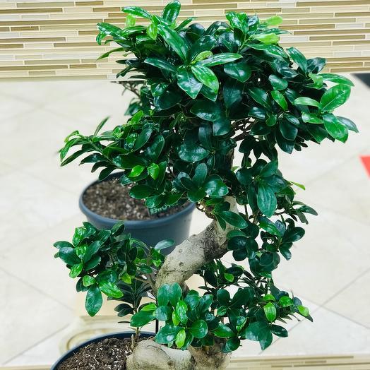 Фикус Бонсай ( Дерево счастья)