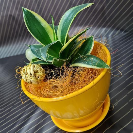 Сансевиерия полосатая в керамическом горшке