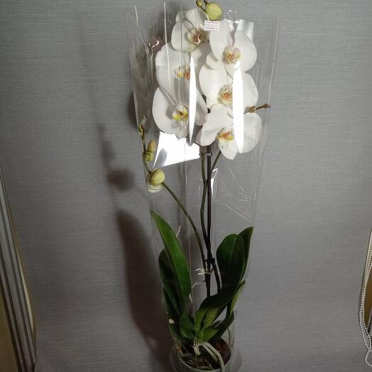 Комнатное растение орхидея фоленопсис