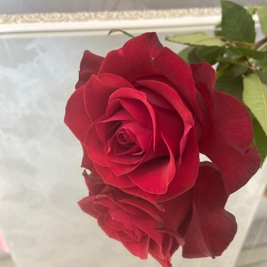 Красная роза Explorer