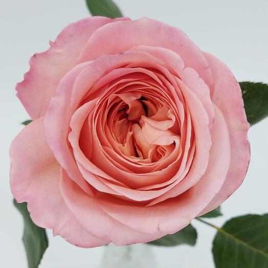 Роза пионовидная Пинк Экспрешн 40 см Колумбия