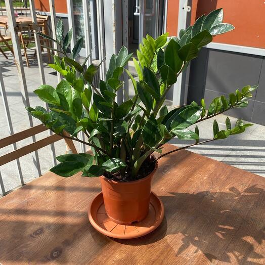 Замиакулькас (долларовое дерево)