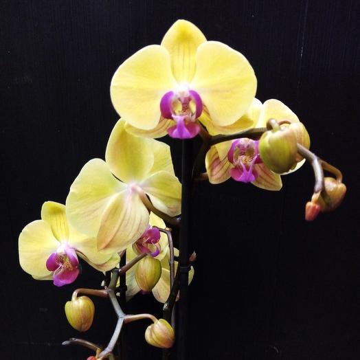 Подарочная орхидея: букеты цветов на заказ Flowwow