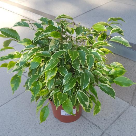 Комнатное растение Фикус Be Green Kinky
