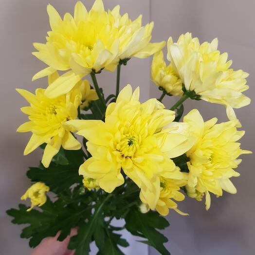 Кустовая хризантема жёлтая