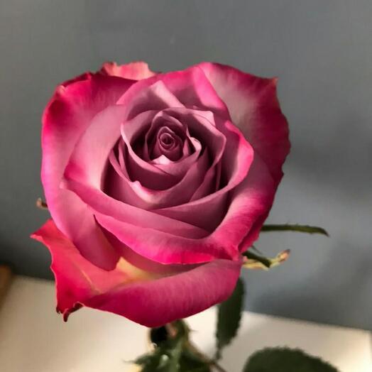 Роза. Deep purple