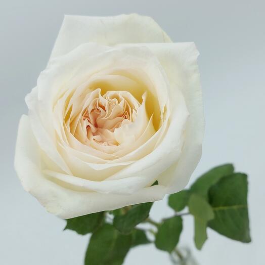 Роза ароматная пионовидная Вайт ОХара 50 см