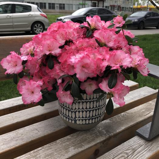 Азалия в кашпо: букеты цветов на заказ Flowwow