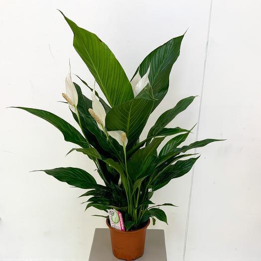 Комнатное растение Спатифиллум браво купидо