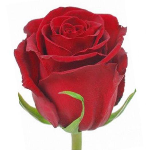 Эквадорская красная Роза