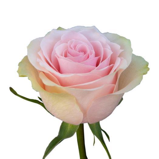 Нежно розовая роза Эквадор 60 см