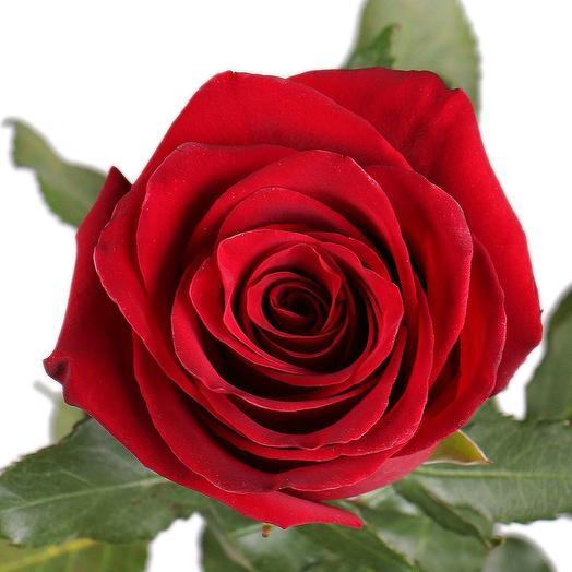 Экспловер роза 70 см Эквадор