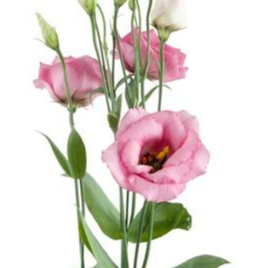 Эустома розовая ветка