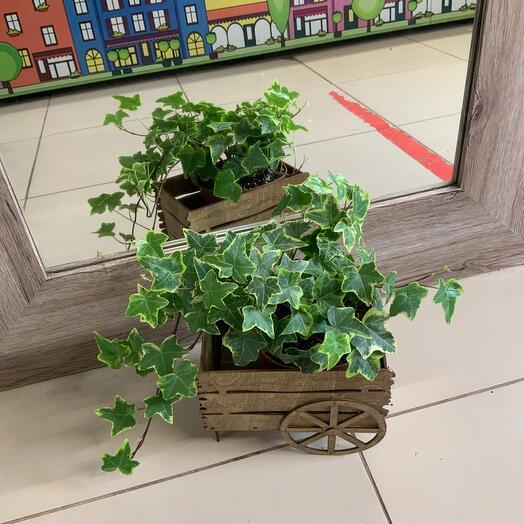 Комнатное растение Хедера в деревянном кашпо