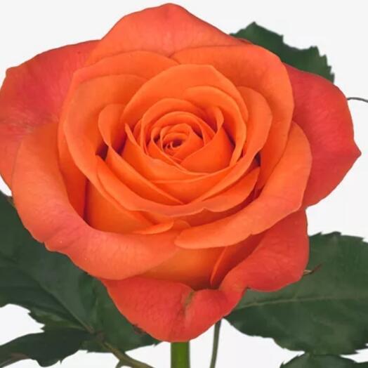 Роза Кларенс