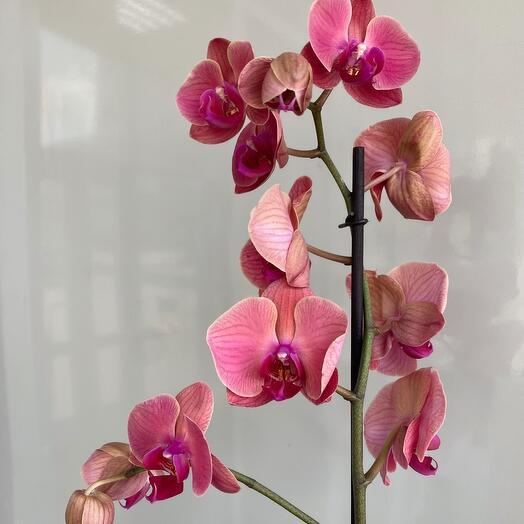 Орхидея в горшке розовая