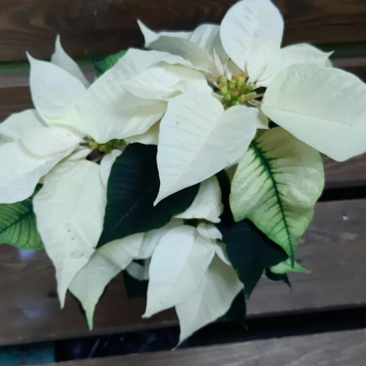 Пуансетия персиковая: букеты цветов на заказ Flowwow