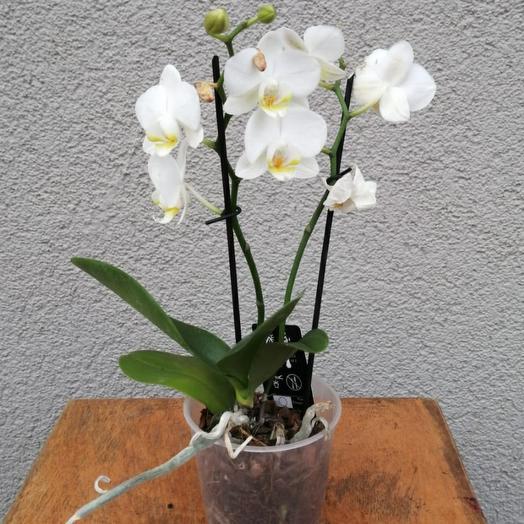 Орхидея (фаленопсис) 2 стрелки