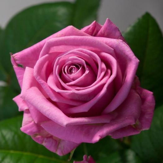 Роза аква 50 см